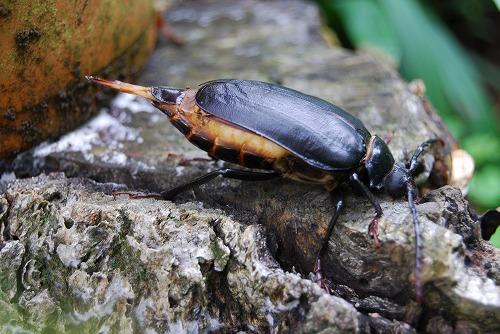 この甲虫御存知ありませんか?_c0124100_12195822.jpg