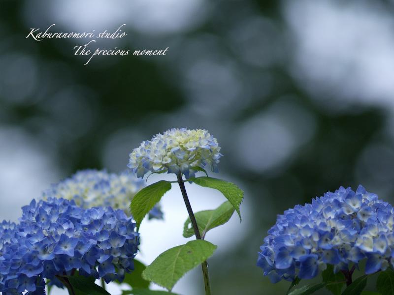 09/6/23   曇り空にアジサイが映える_c0137403_18474144.jpg