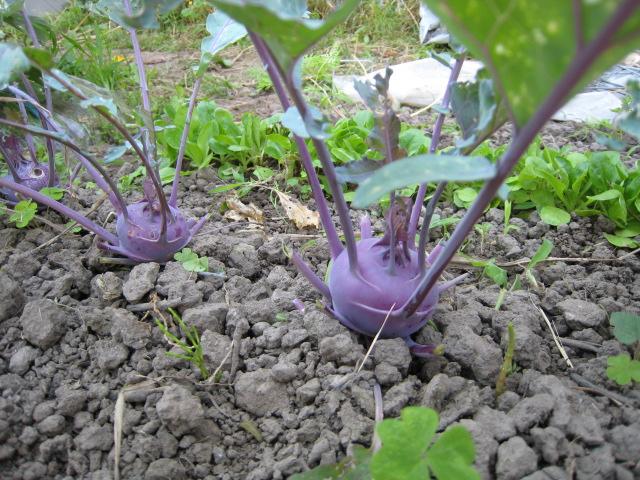 野菜の生育状況最新レポート_e0121558_22481319.jpg