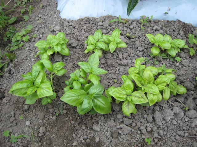 野菜の生育状況最新レポート_e0121558_22484091.jpg