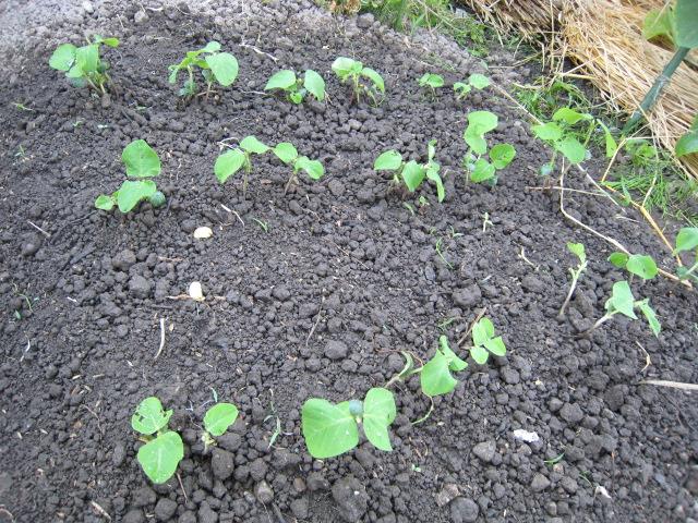 野菜の生育状況最新レポート_e0121558_2248559.jpg