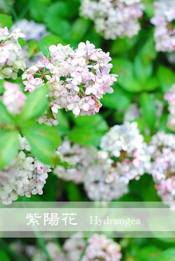 紫陽花 *色が変化しています_a0115684_2225723.jpg