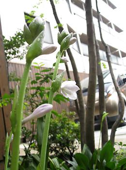 ギボウシの花が咲きました_d0080906_14405722.jpg