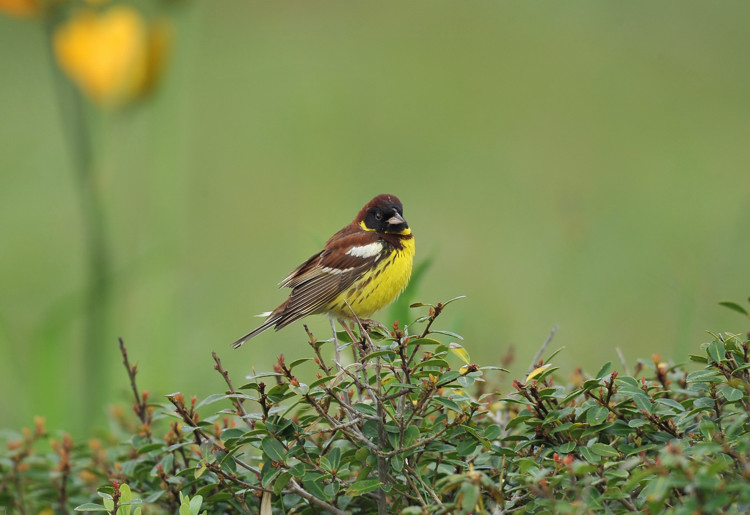 シマアオジ(Yellow-breasted bunting)~2009.06_b0148352_22373585.jpg