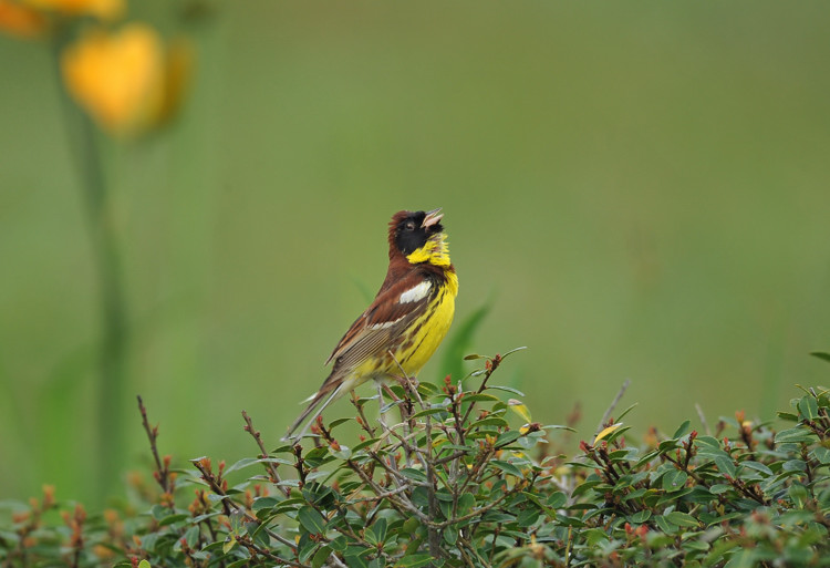シマアオジ(Yellow-breasted bunting)~2009.06_b0148352_22381683.jpg