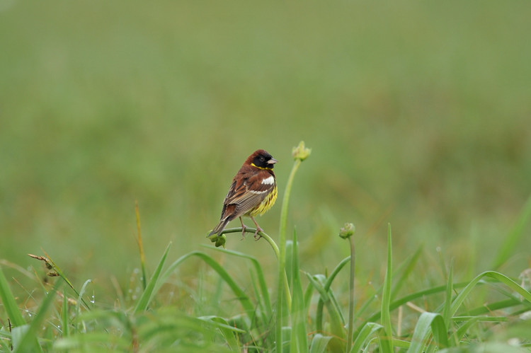 シマアオジ(Yellow-breasted bunting)~2009.06_b0148352_2238532.jpg