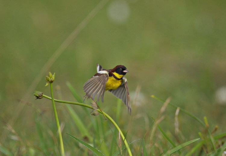 シマアオジ(Yellow-breasted bunting)~2009.06_b0148352_22391081.jpg