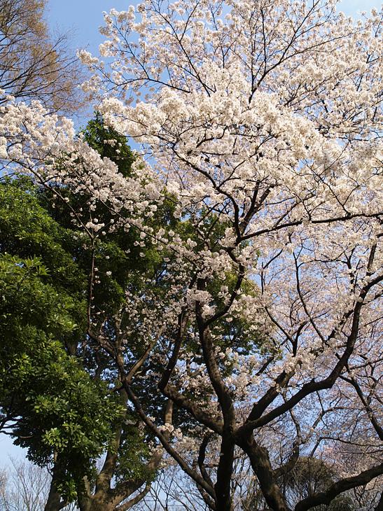 なんとなく桜again_a0100959_0151082.jpg