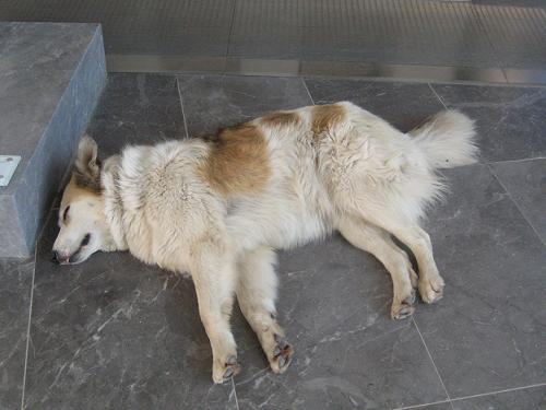 新アクロポリス博物館敷地内で昼寝するコスタ_f0037264_17305232.jpg