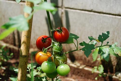 ミディトマトの初収穫…_c0124100_19131675.jpg