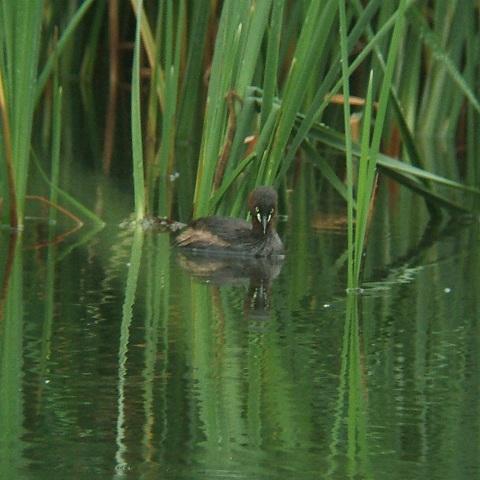 6月21日の谷津干潟(外で見かけた鳥)_e0089232_20364951.jpg