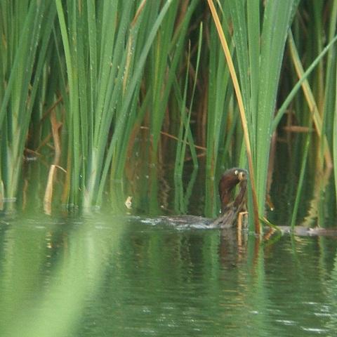 6月21日の谷津干潟(外で見かけた鳥)_e0089232_2037454.jpg