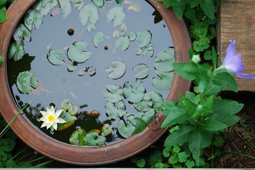スイレン鉢にヤゴを発見!_c0124100_1385475.jpg
