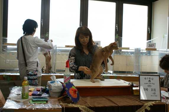 TICA ECC CAT SHOW~ブルースリー君 1_e0033609_2091563.jpg