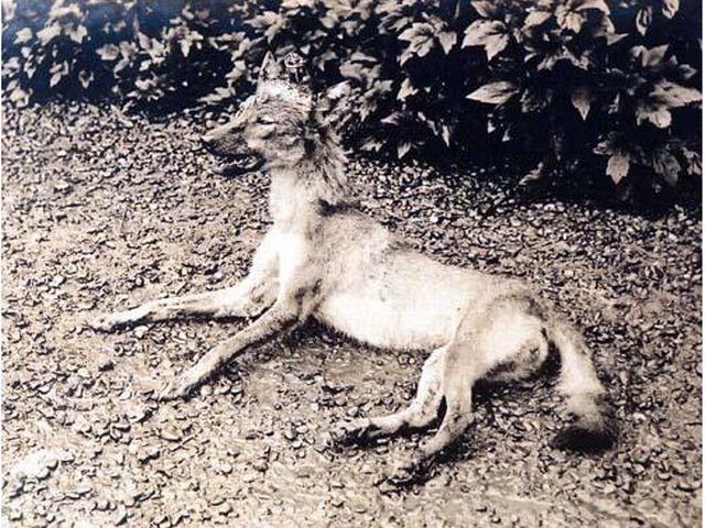ニホンオオカミの画像 p1_30