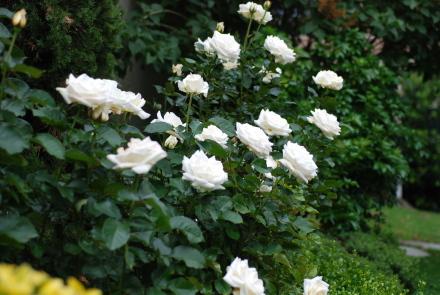 カバン持ち、6月下旬の庭便り。_d0129786_14274419.jpg