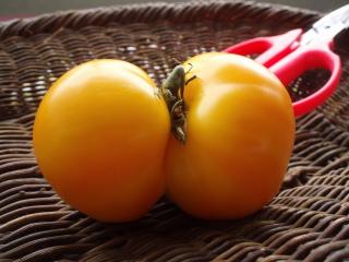 +++双子のトマト食べます+++_e0140921_16471176.jpg