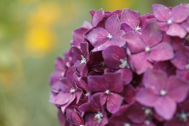 紫陽花 2009   -茶屋ヶ坂公園―_d0108063_22305558.jpg