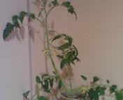 ミニトマト豊作か_f0101128_705771.jpg