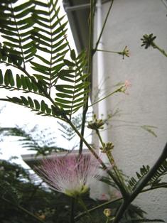 合歓の木の花_f0196455_15513246.jpg