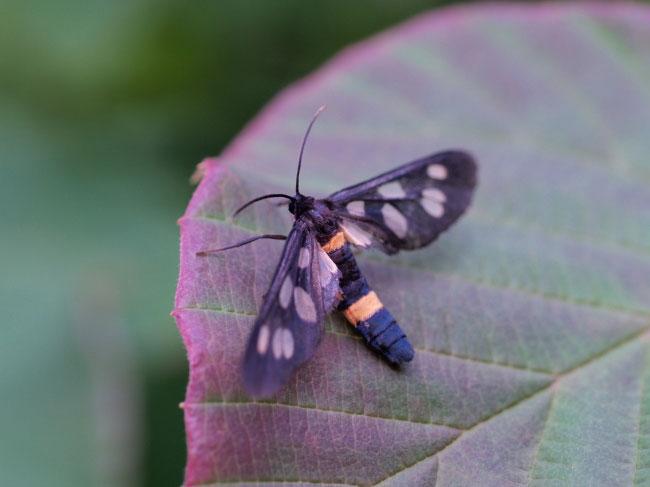 【サイズ別】蛾の種類・色・毒・蝶との違い・日 …