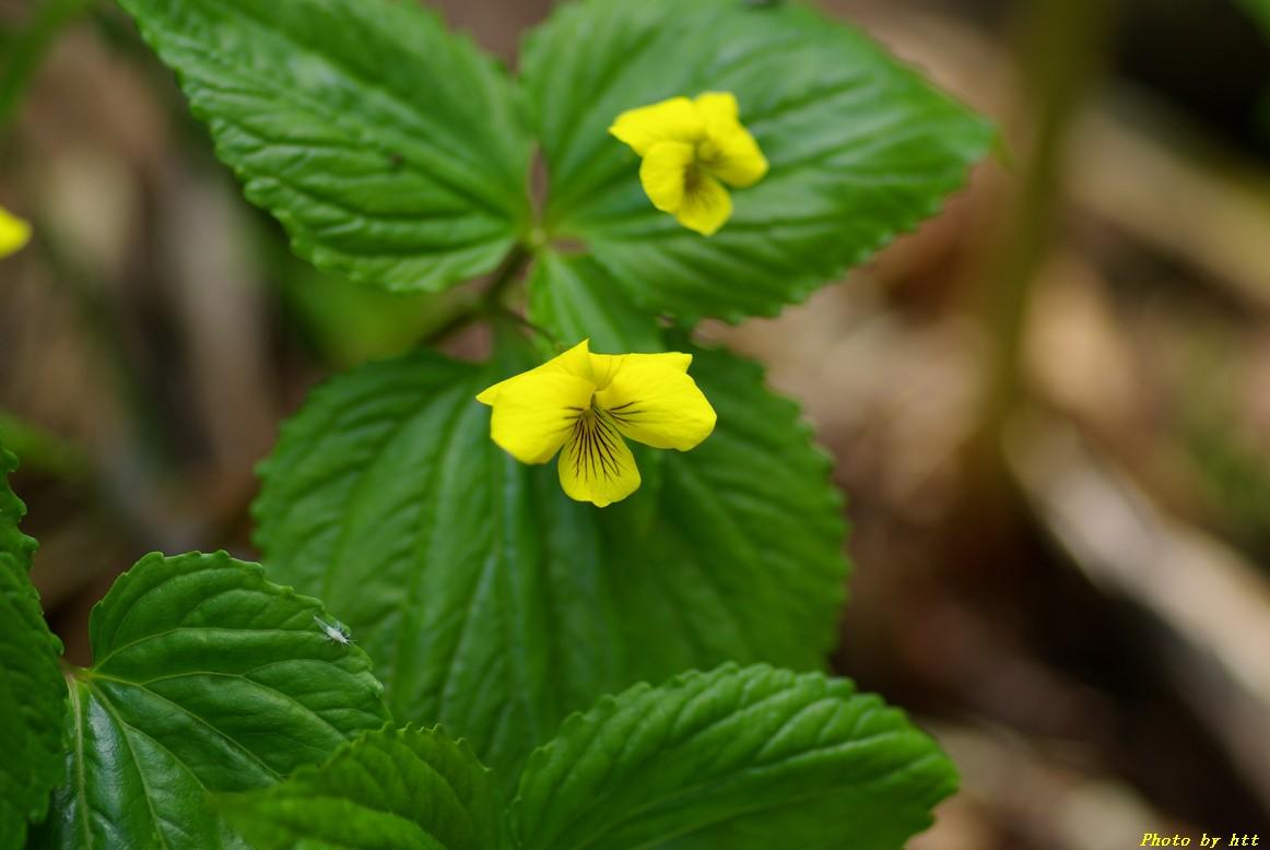 船形山登山 高山植物編~黄色い花~_f0148627_22302081.jpg