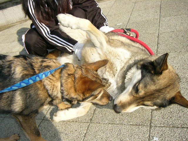狼犬の風丸君 _a0126743_2272660.jpg