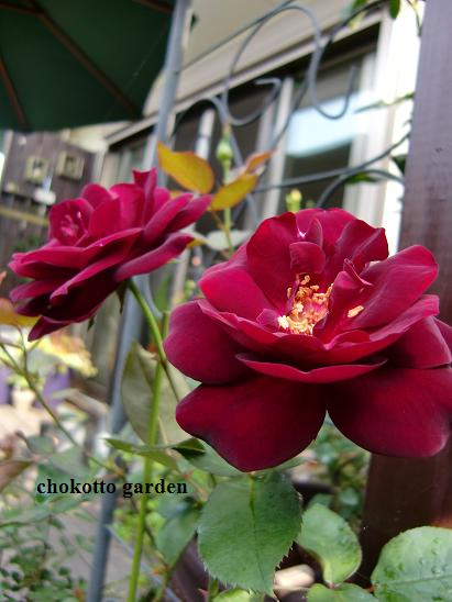 ルイ14世ロゼット咲き