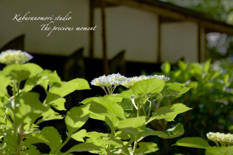 09/7/2  梅雨の季節の一つの楽しみ_c0137403_16171257.jpg