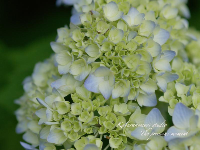 09/7/2  梅雨の季節の一つの楽しみ_c0137403_16195797.jpg