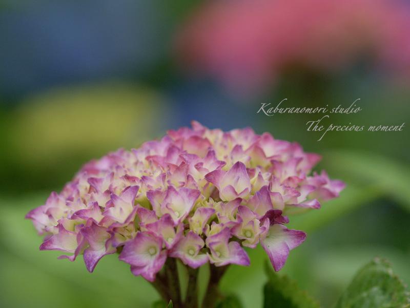 09/7/2  梅雨の季節の一つの楽しみ_c0137403_16215516.jpg