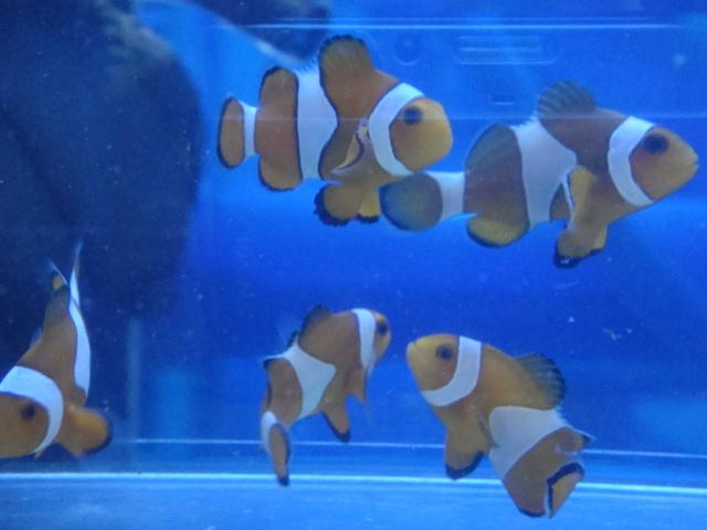 熱帯魚・金魚・水草・海水魚・サンゴ_f0189122_11553493.jpg