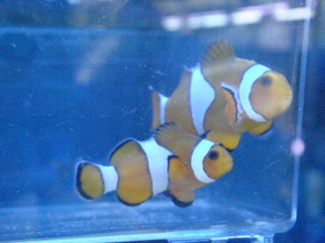 熱帯魚・金魚・水草・海水魚・サンゴ_f0189122_11555839.jpg