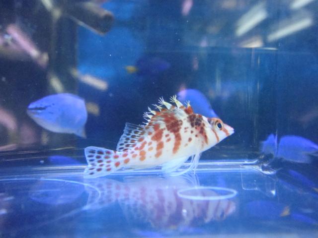 熱帯魚・金魚・水草・海水魚・サンゴ_f0189122_14165829.jpg
