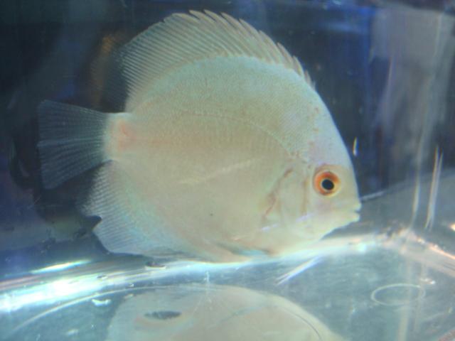 熱帯魚・金魚・水草・海水魚・サンゴ_f0189122_14415150.jpg