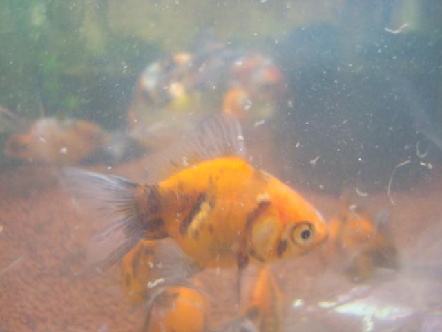 熱帯魚・金魚・水草・海水魚・サンゴ_f0189122_14461723.jpg
