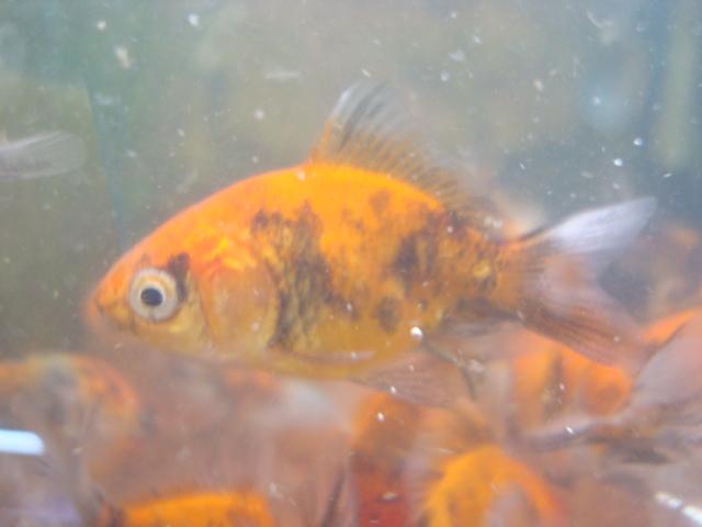 熱帯魚・金魚・水草・海水魚・サンゴ_f0189122_14462987.jpg