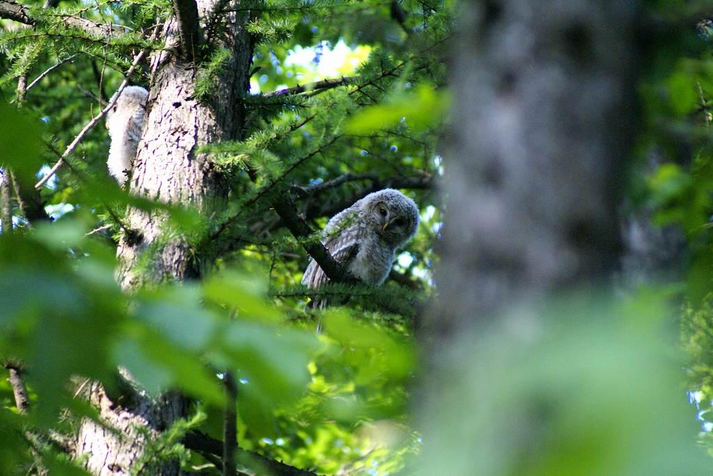 7月2日、再びフクロウを撮影_f0138096_17512574.jpg