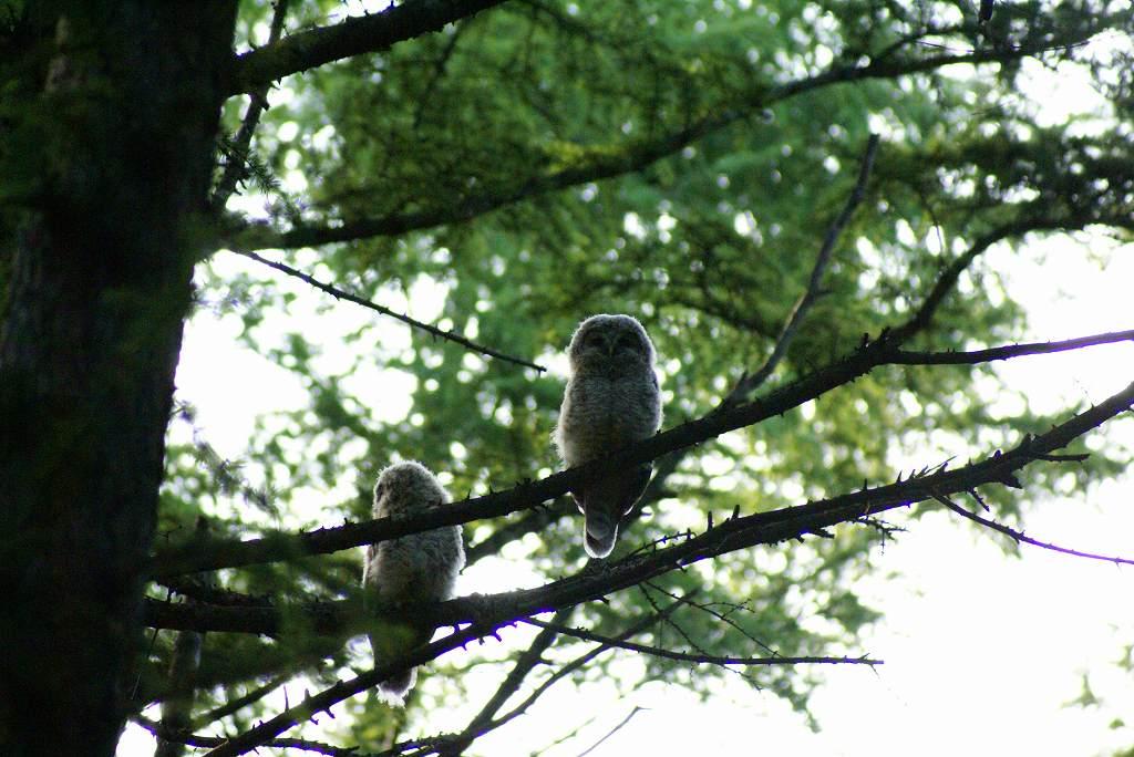 7月2日、再びフクロウを撮影_f0138096_17514226.jpg