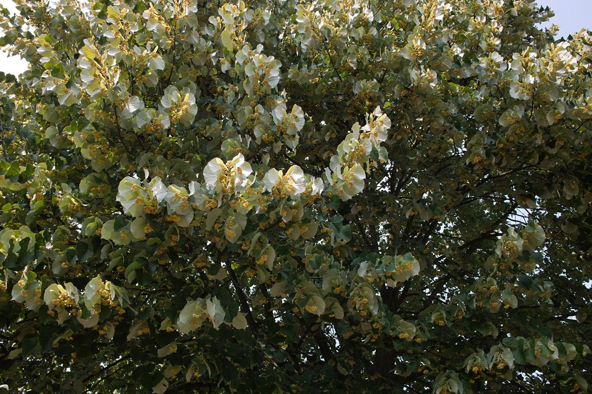 菩提樹(かな?少なくともその一種)_b0148617_19132375.jpg