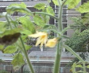 家庭菜園!?_a0118722_15351534.jpg