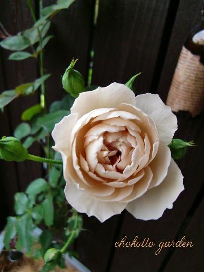 ロゼット咲き