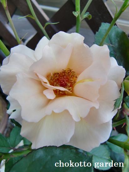 咲ききったジュリア
