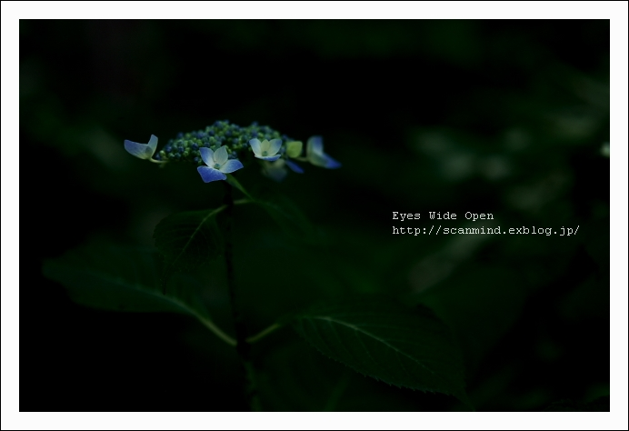 私の紫陽花・・・私だけの・・・_c0170584_20291381.jpg