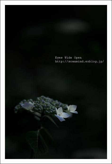 私の紫陽花・・・私だけの・・・_c0170584_20294427.jpg