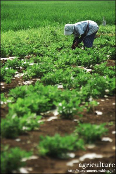 真夏の畑仕事_f0100215_2325266.jpg