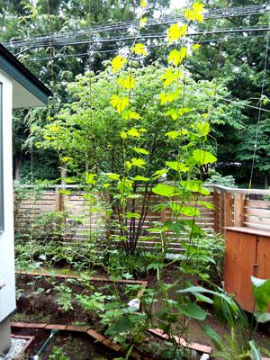 モデルハウスの緑のカーテン_b0015157_1010379.jpg