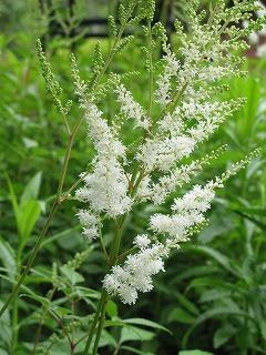 白い色の花_a0129867_1531864.jpg