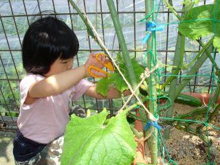 マコちゃん農園、豊作です!トマトがぶり!_e0166301_1547147.jpg