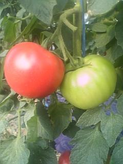 美味いトマト!_d0026905_16295437.jpg